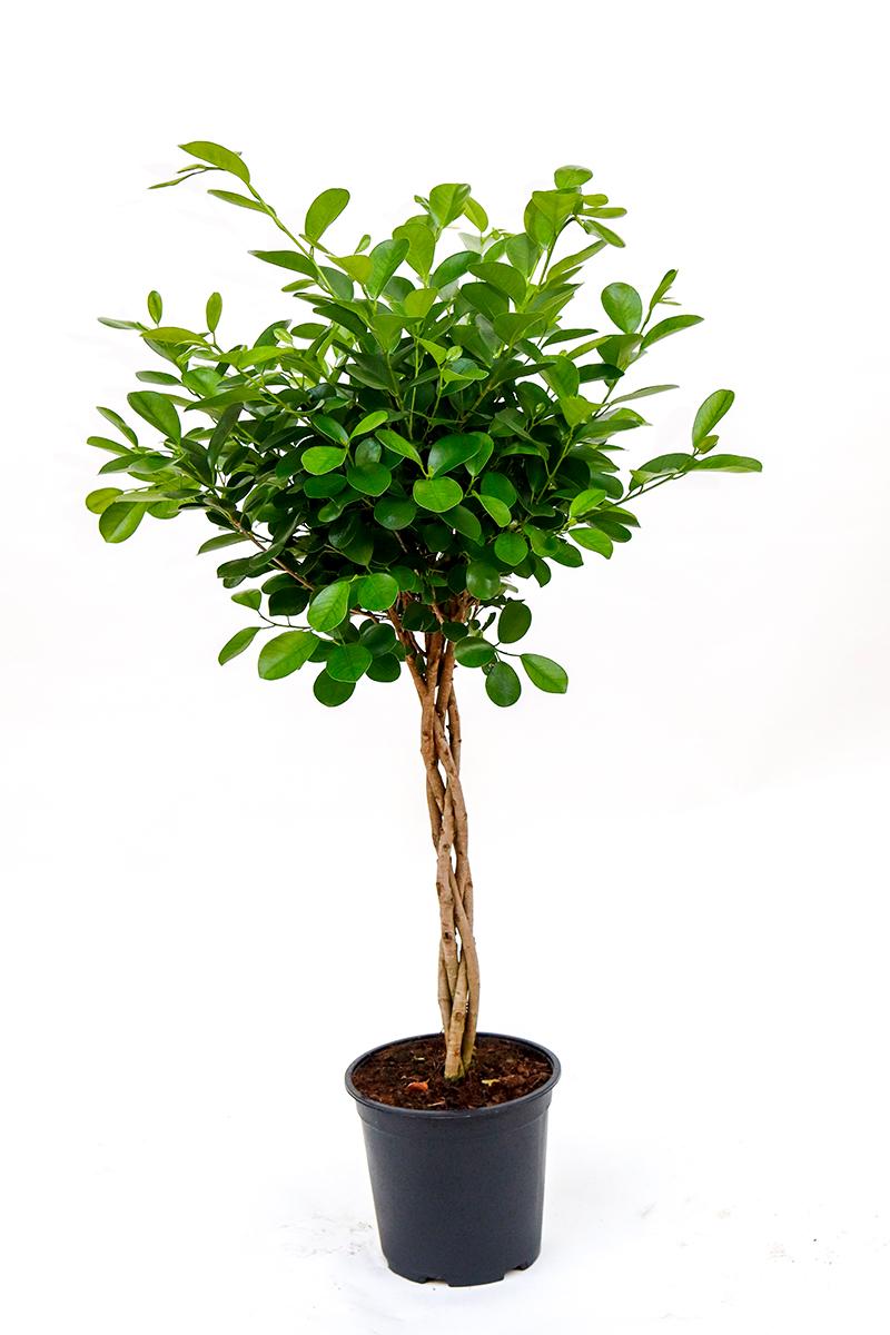 <center>Ficus</center>