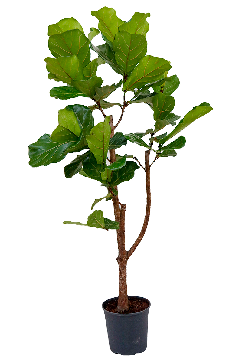 <center>Ficus Lyratha</center>