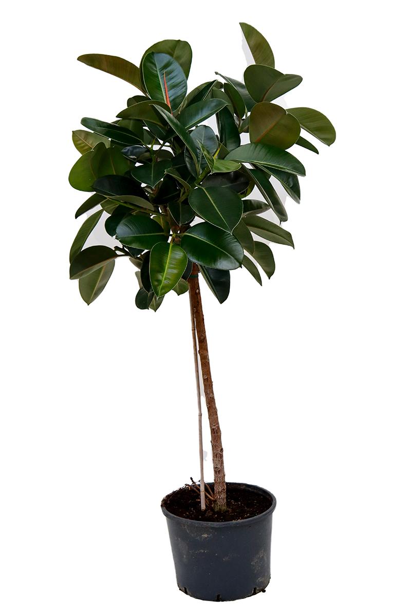 <center>Ficus Robusta</center>