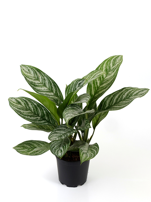 <center><b>Aglaonema · Stripes</b></center>
