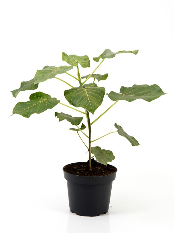 <center>Ficus Petiolaris</center>