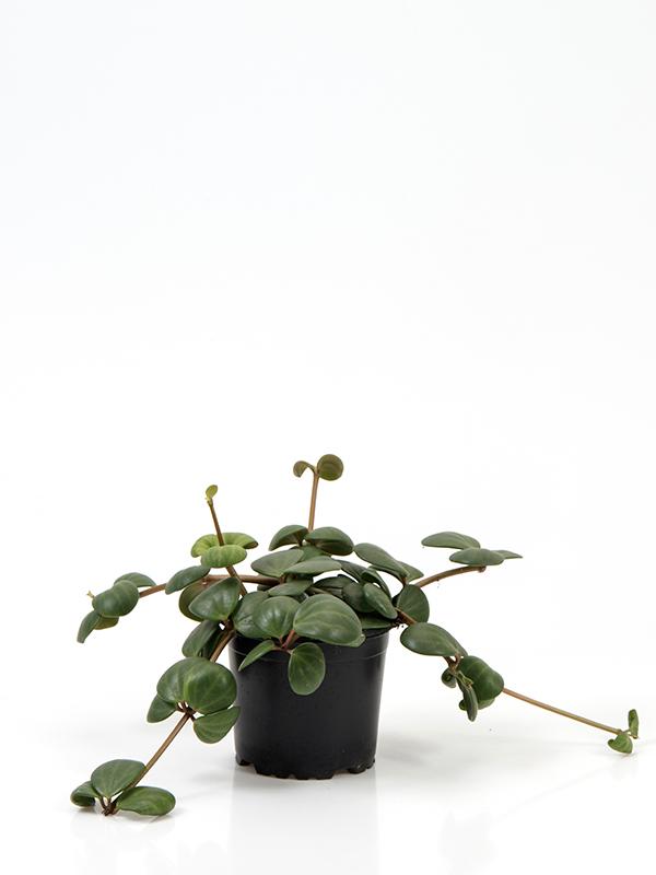 <center>Peperomia pecunifolia 'Hope'</center>