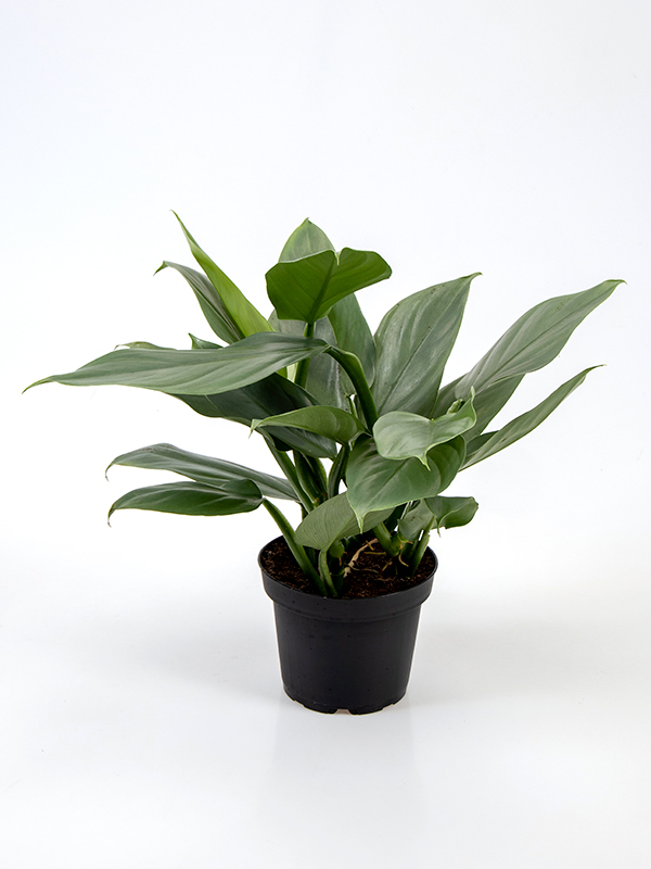 <center>Philodendron Grey</center>