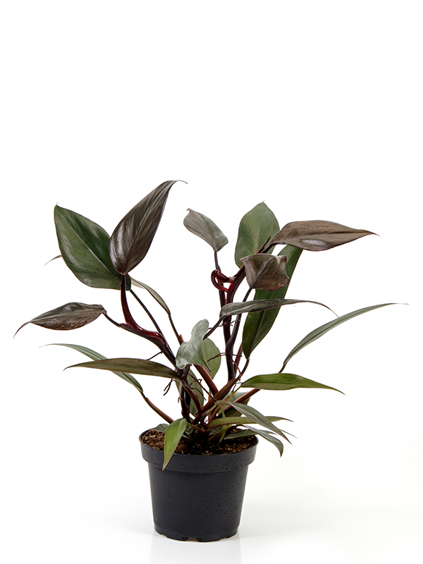 <center>Philodendron New Red</center>