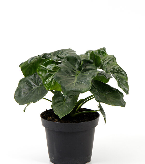 Philodendron-'Atom'