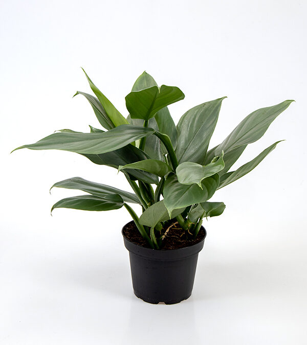 Philodendron-'Grey'-